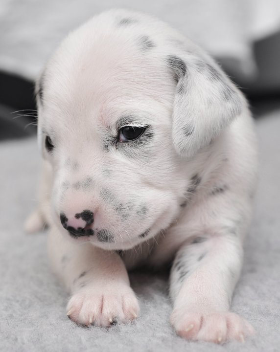 Newborn Puppies Dalmatian