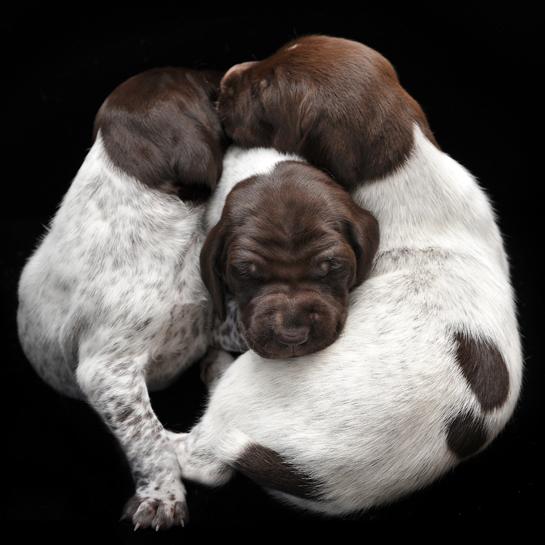 Newborn Puppies German Shorthaired Pointers