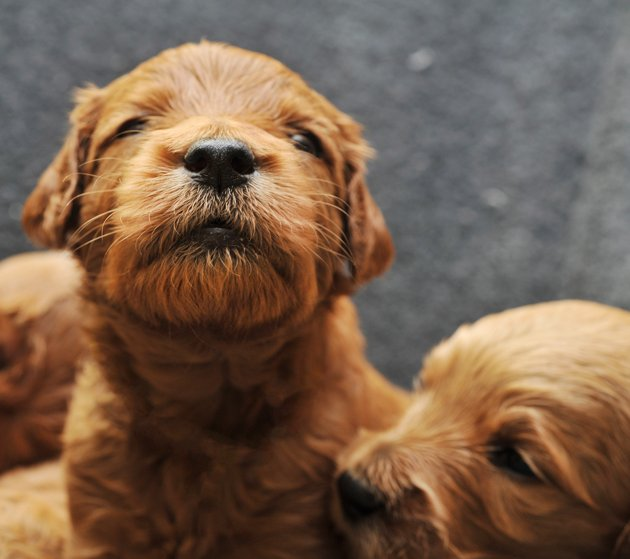 Newborn Puppies Goldendoodles
