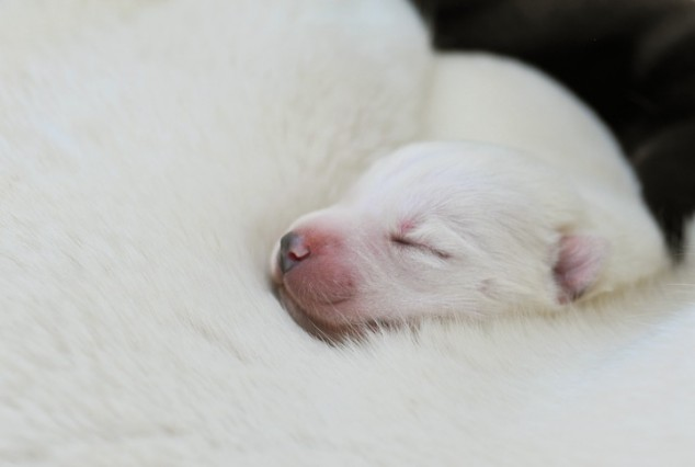 Newborn Puppies Siberian Husky
