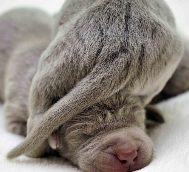 Newborn Puppies Weimaraners