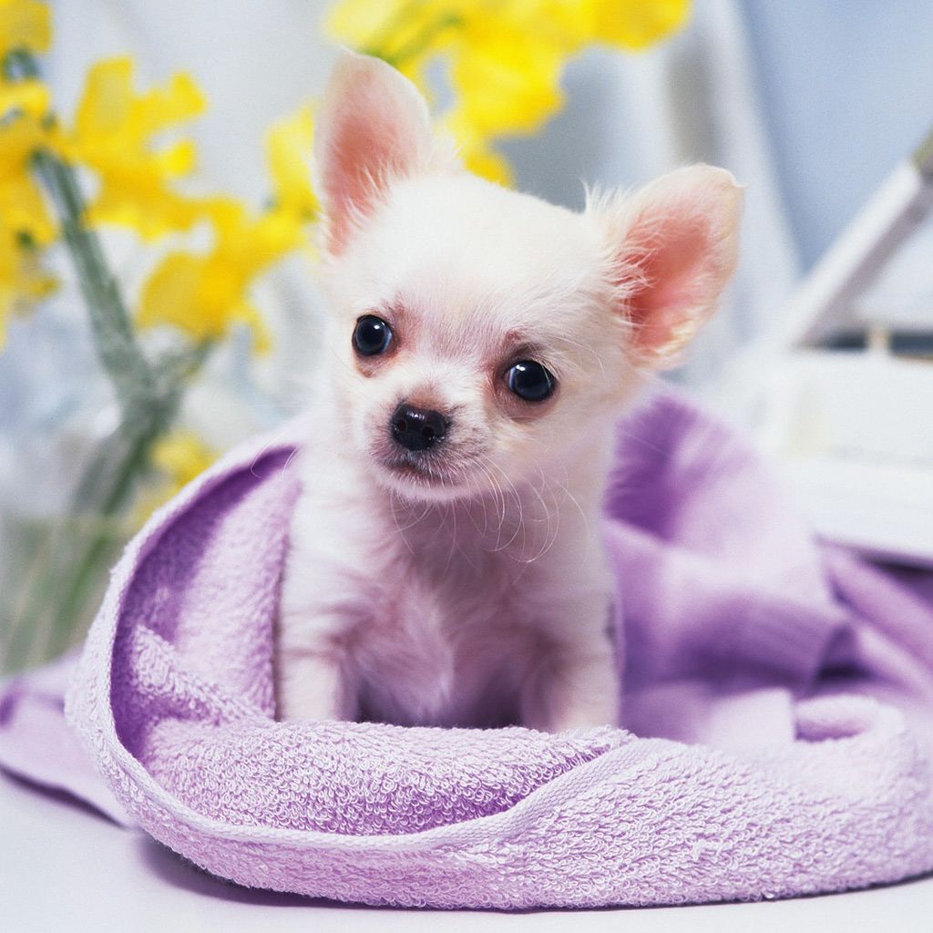 Cute_Chihuahua_Puppy_108