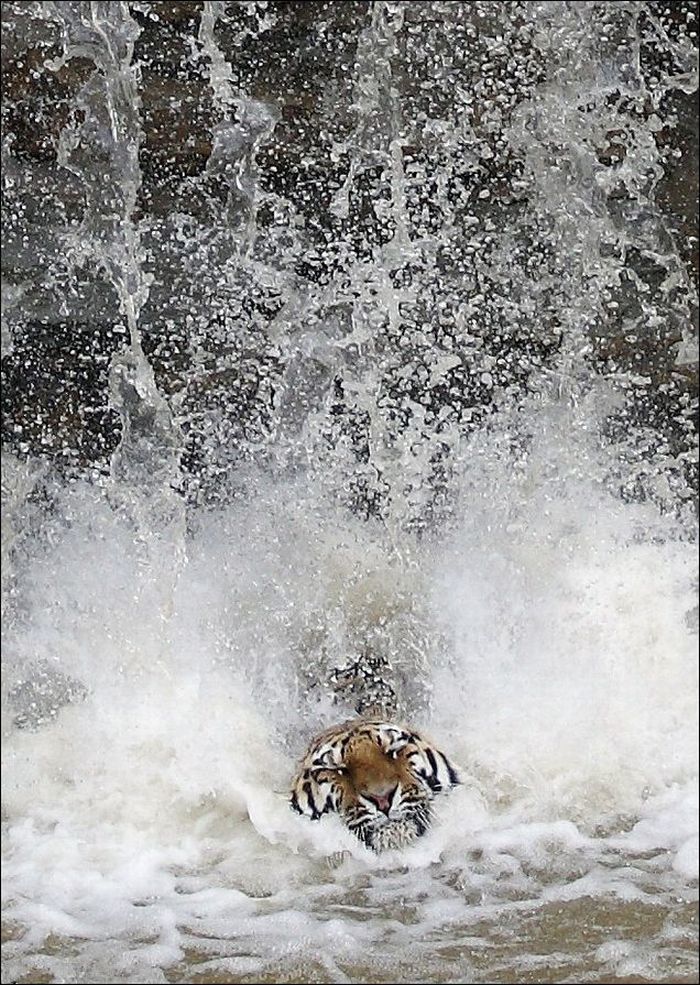 Tiger Dives In