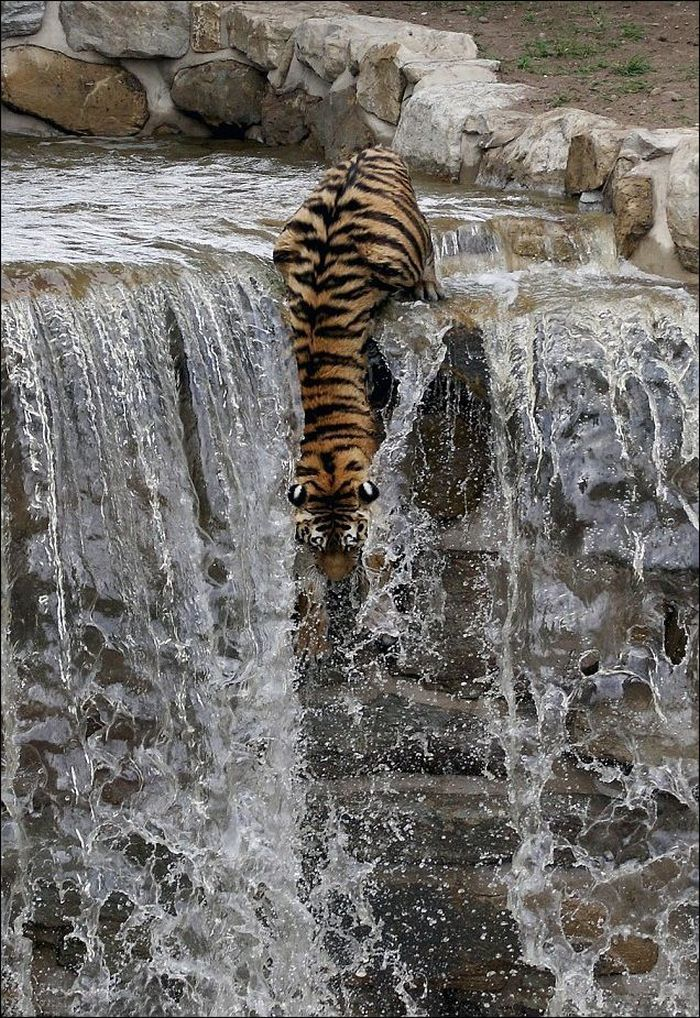 Tiger Dives In