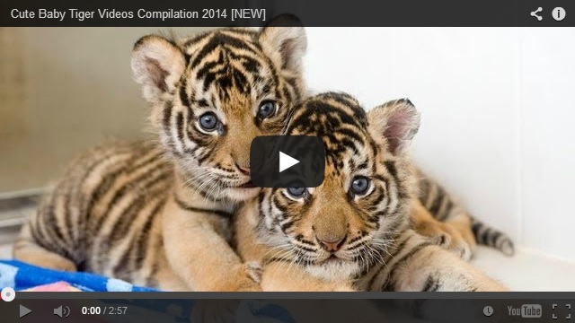 Pics Photos Cute Baby Tiger Tigers
