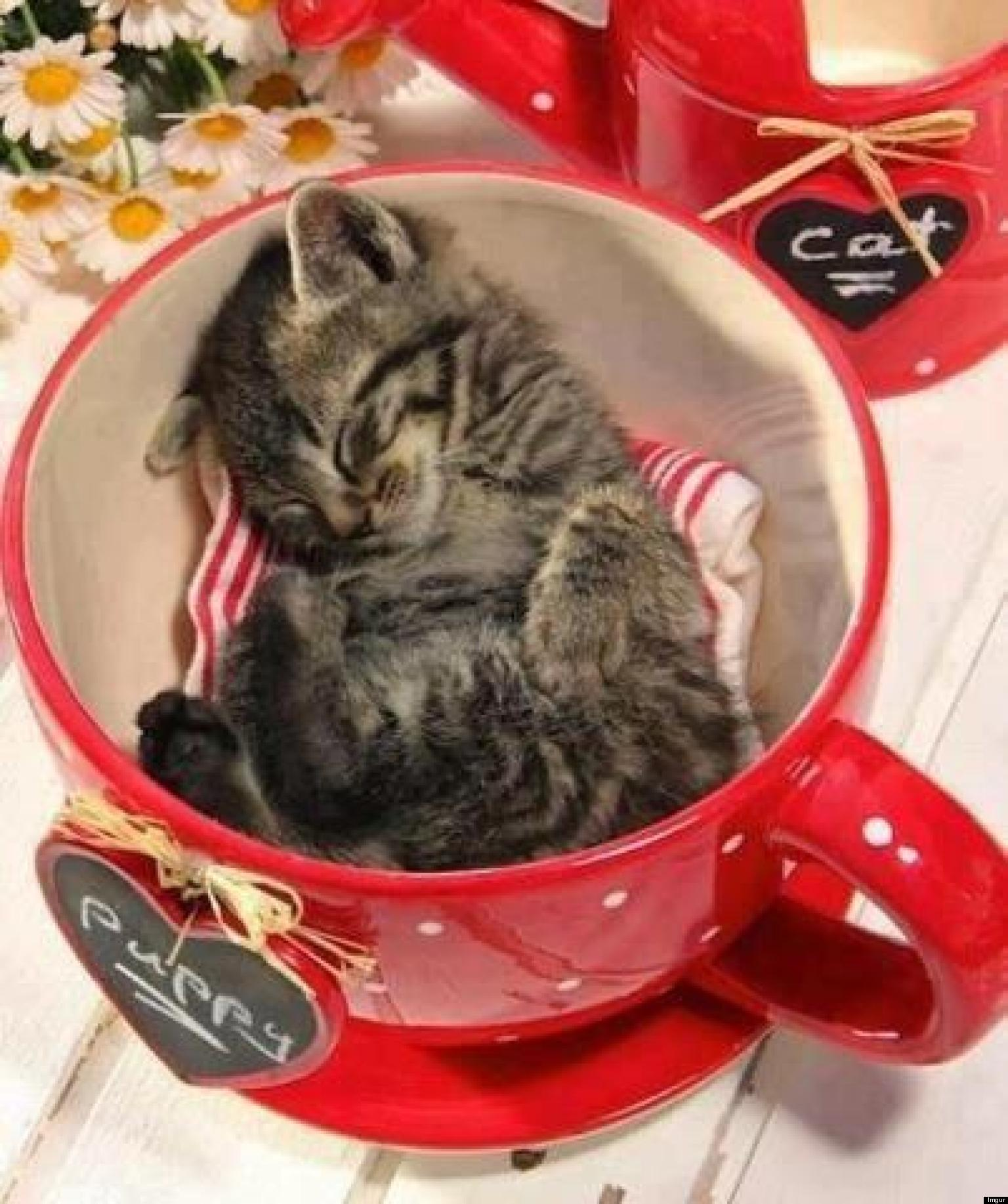 Cute Cat in a Cup