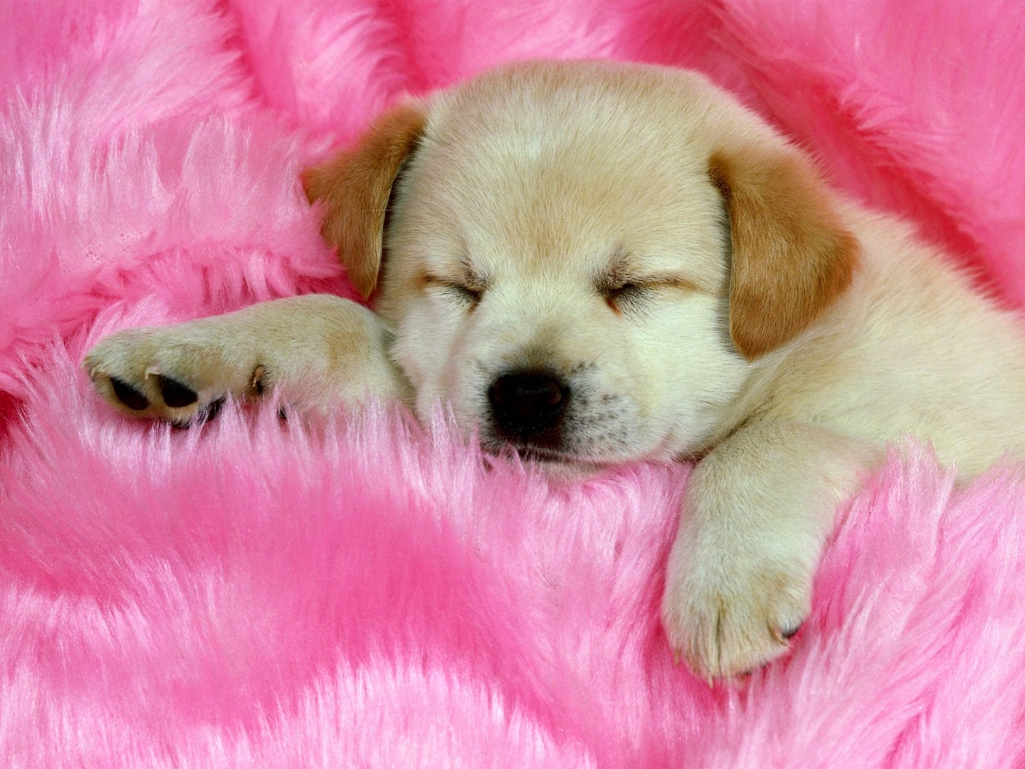 cute-labrador-retriever-puppy-sleeping-desktop-wallpaper