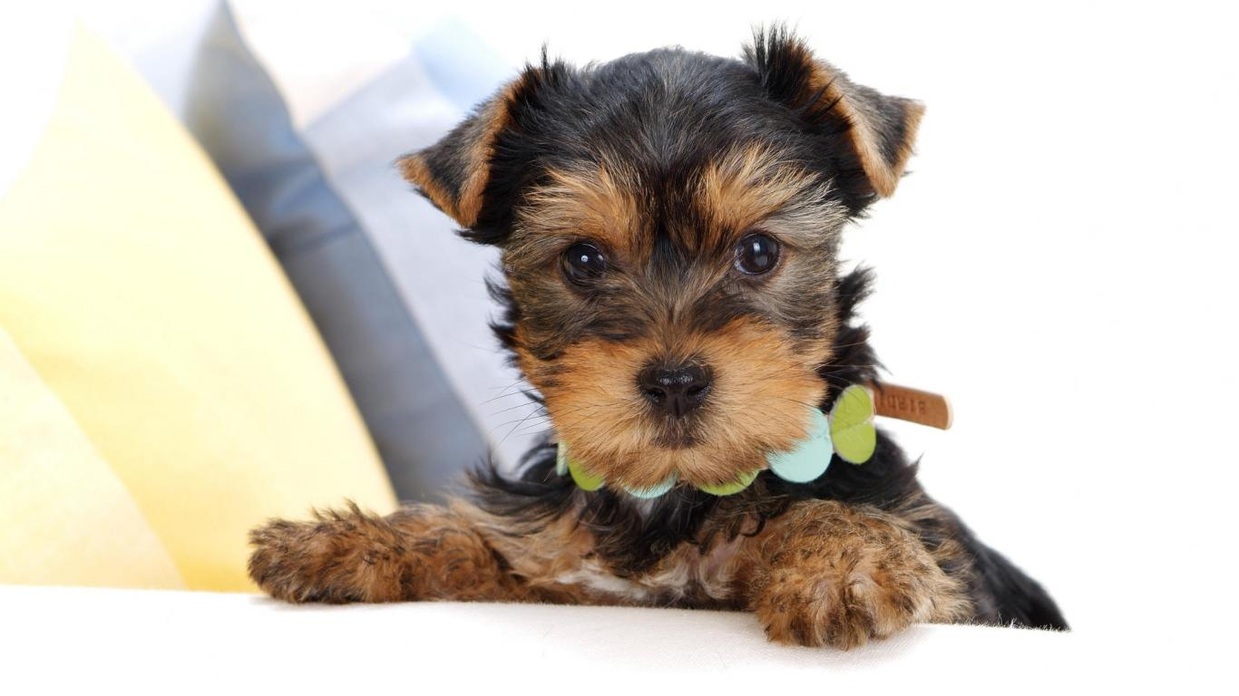 cute-puppy-yorkie-puppie-terrier-free-hd-90780