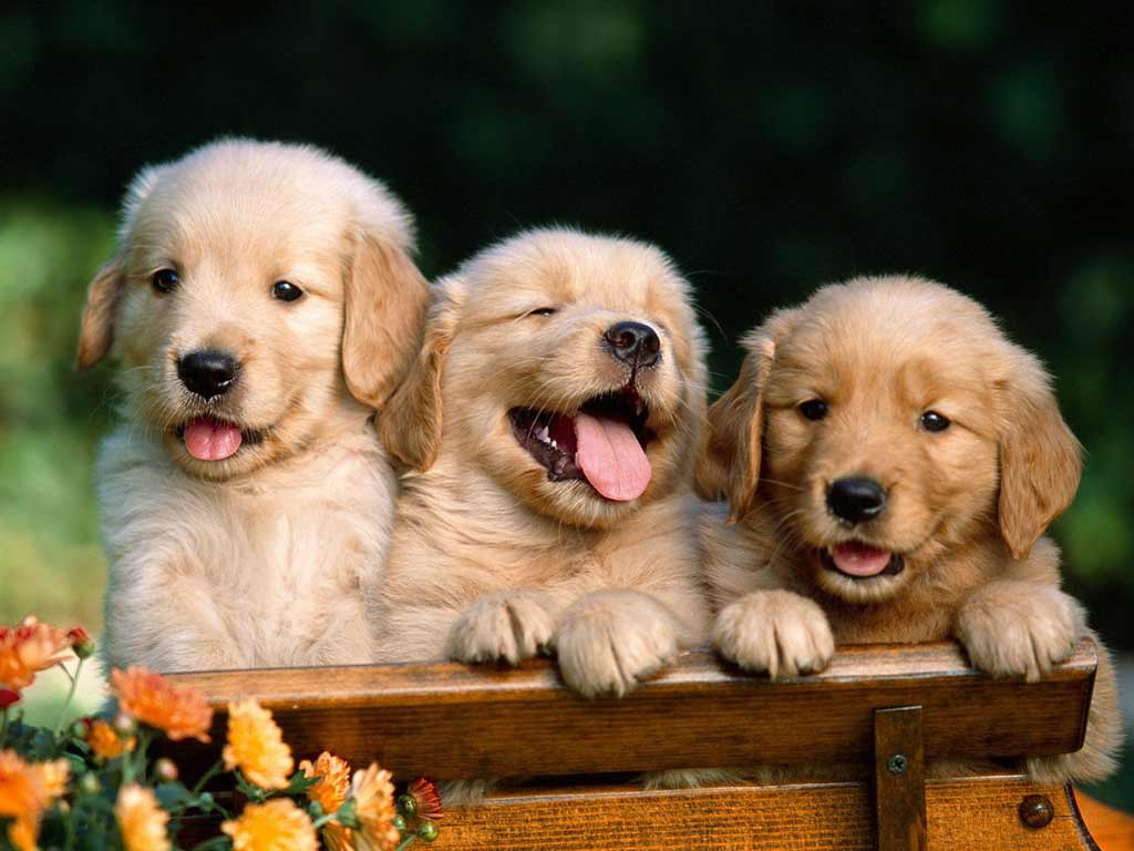 golden_retriever 1