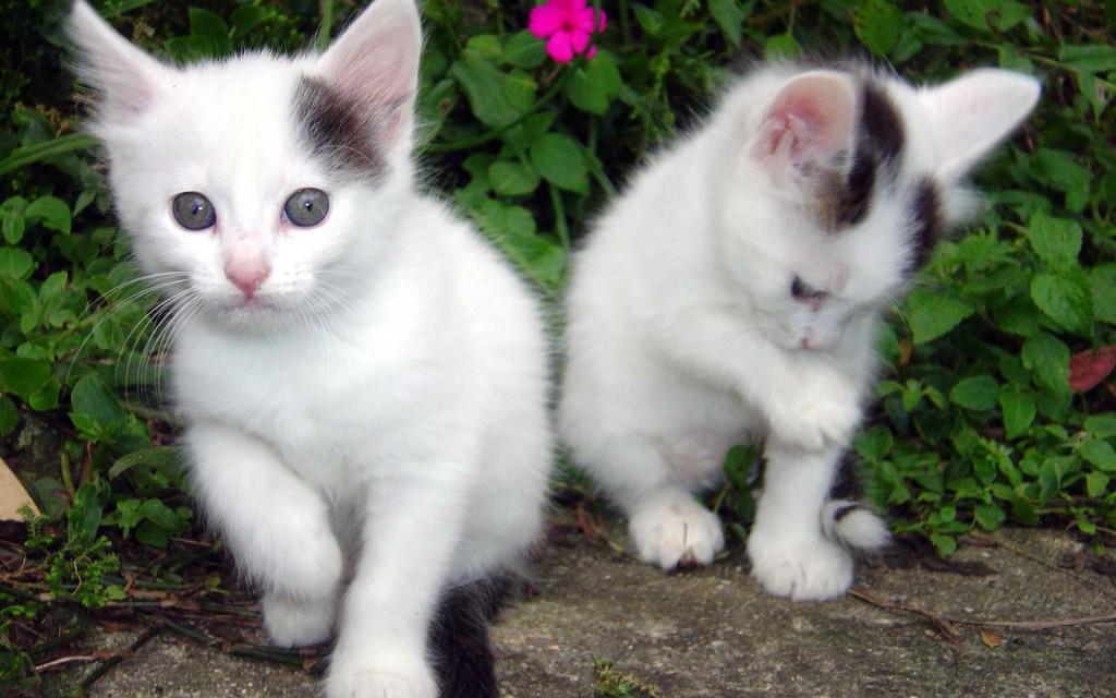 White kitten Cat Cute Animal