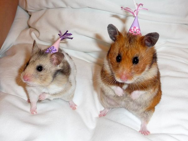 cute-animals-in-birthday-hatsgetting-ready-for-a-hamster-party-vivaboo-oxj8qlbz