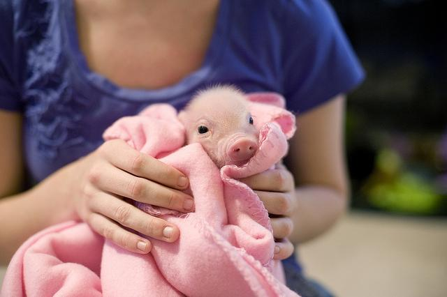 A Piglet In A Blanket