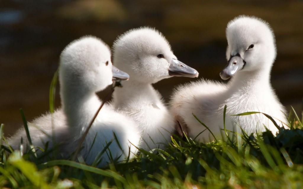 Baby-Swans--1050x1680