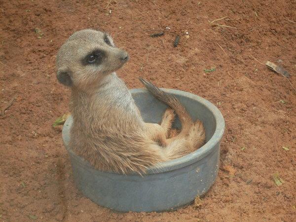 Cute_meerkat_sitting_in_bowl