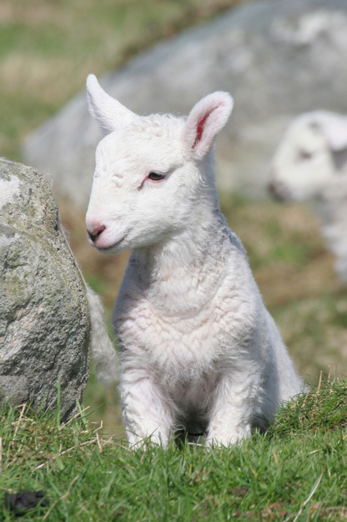 Slightly shy newly-born lamb in a lush meadow