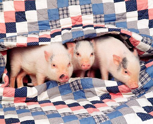 PIG-01-RK0149-06P
