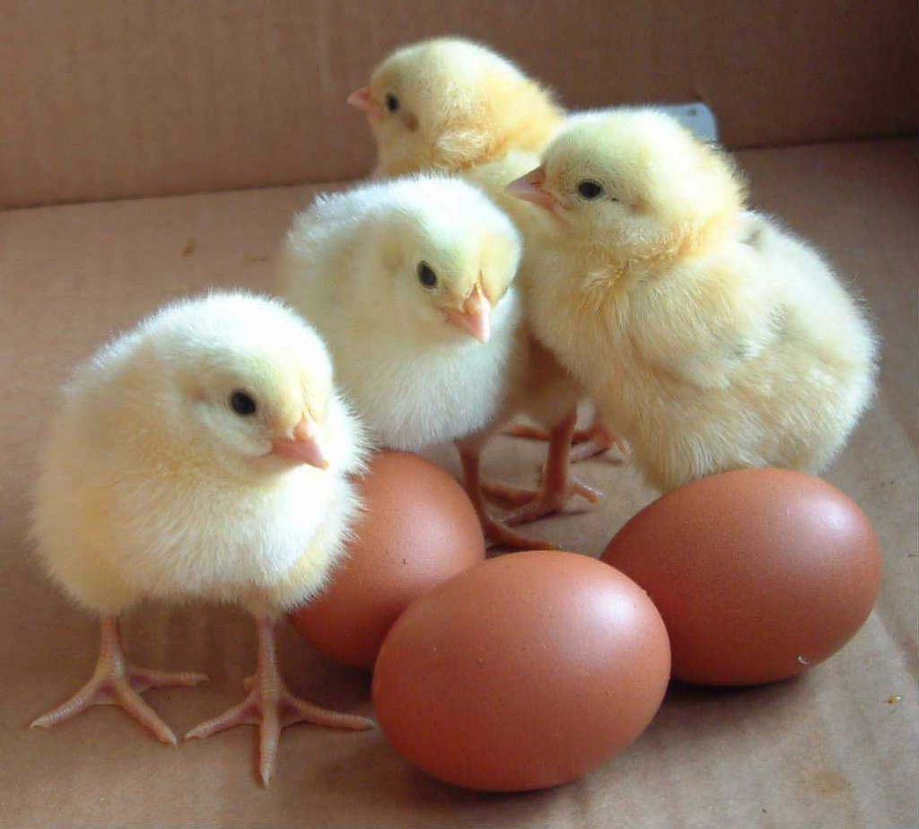 adorable-chicks-with-eggs