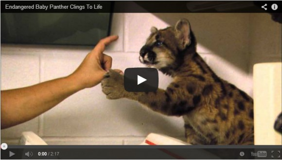 cute orphaned baby panther cuteness overflow