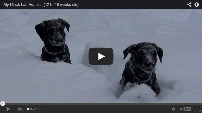 Most Inspiring Labrador Black Adorable Dog - black-lab-puppies  Snapshot_696747  .jpg