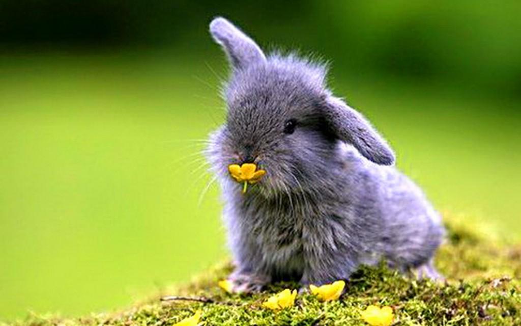 bunnyflower