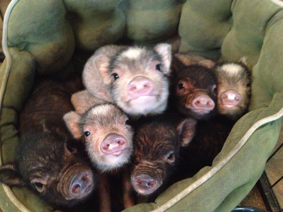 ej485-pigs-in-bed