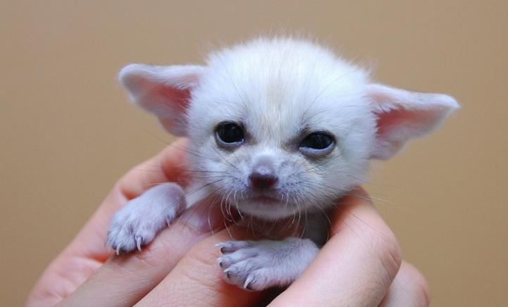 fennec-fox (1)