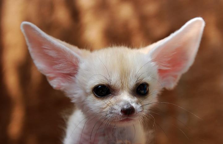 fennec-fox (10)