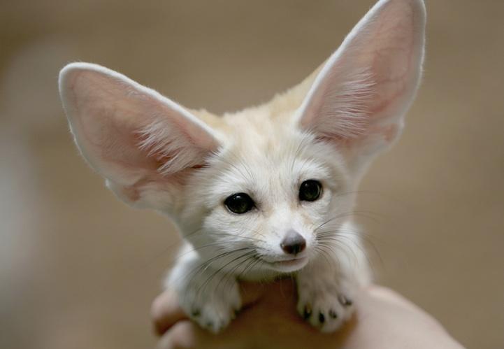 fennec-fox (11)