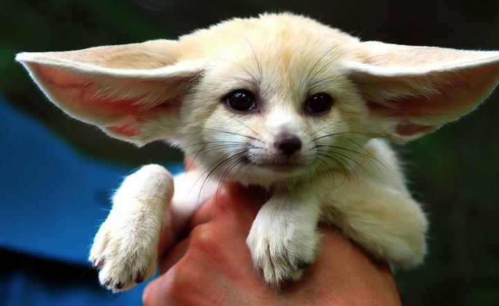 fennec-fox (12)