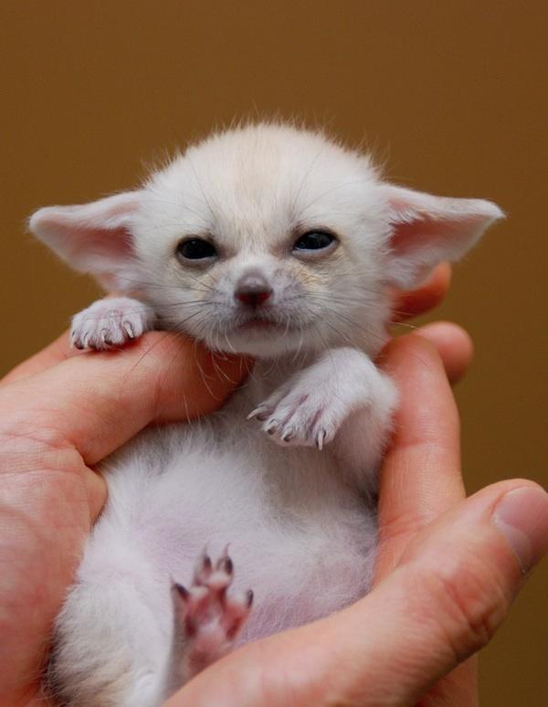 fennec-fox (14)