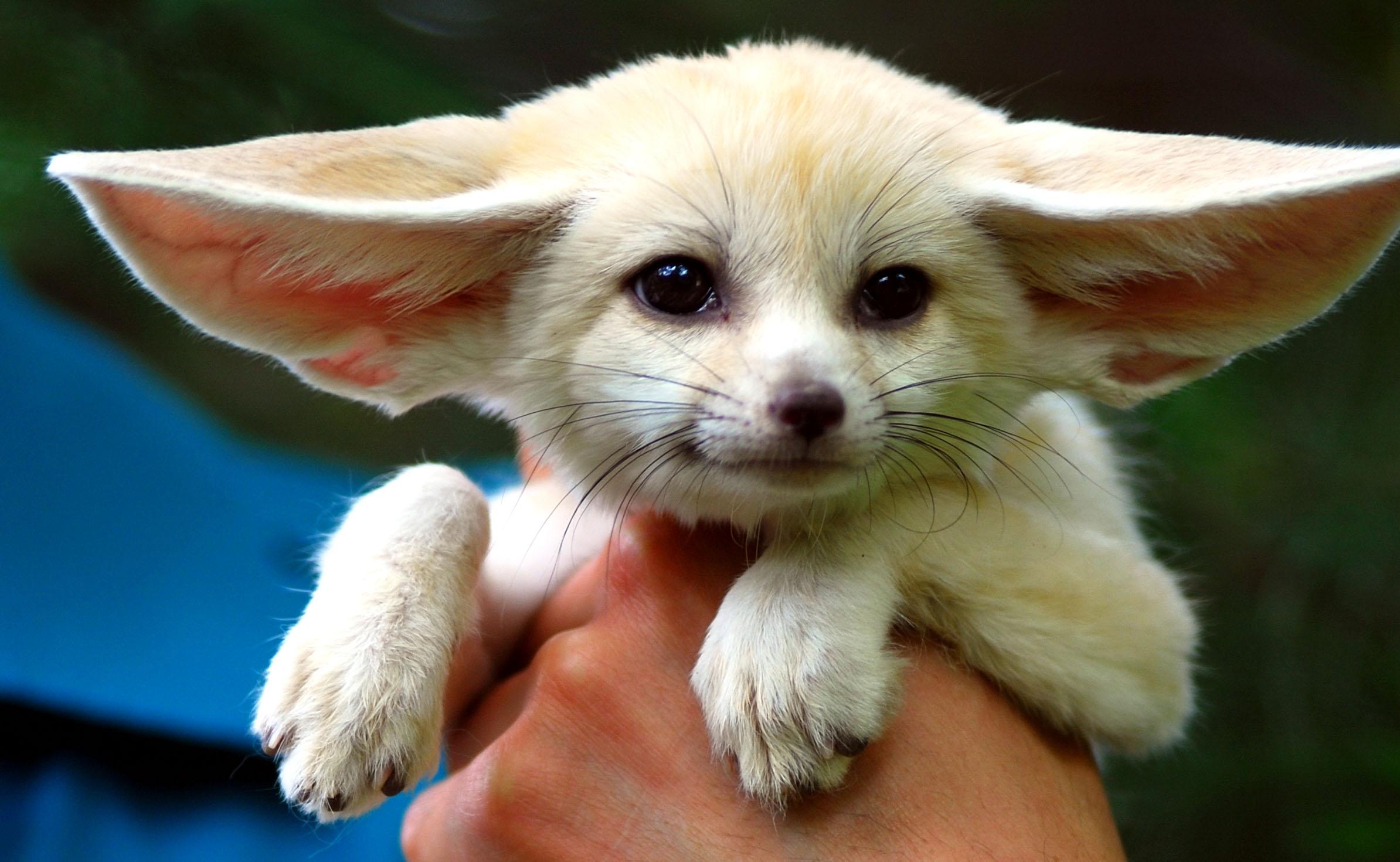 fennec-fox (2)