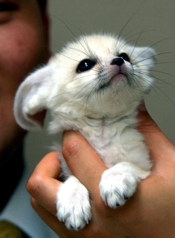 fennec-fox (3)