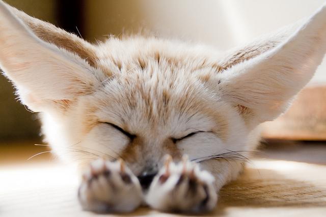 fennec-fox (4)
