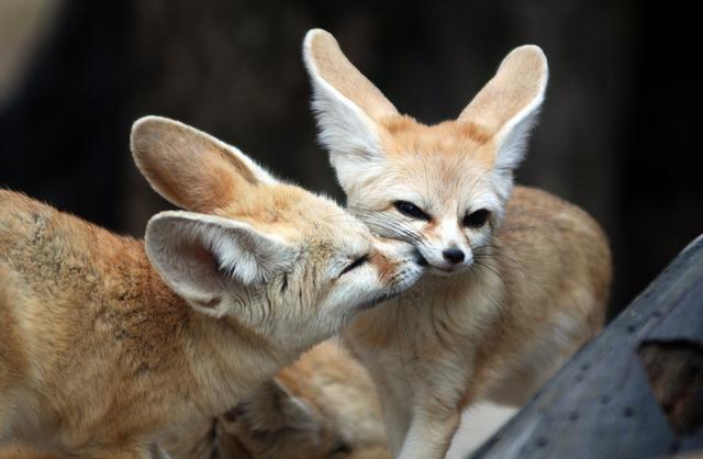 fennec-fox (5)