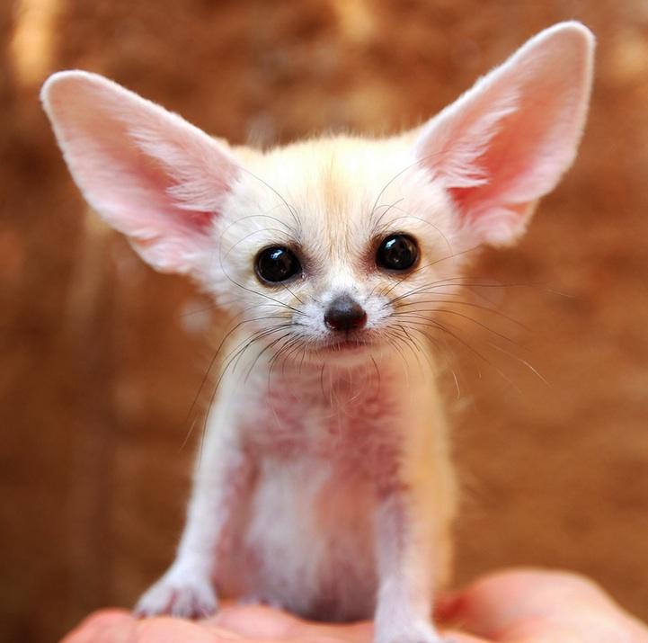 fennec-fox (6)
