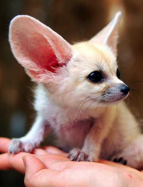 fennec-fox (8)