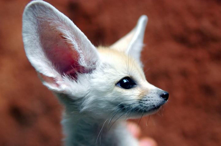fennec-fox (9)