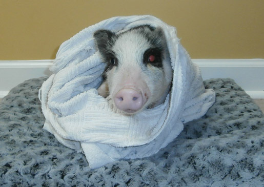 Pigs And Blankets | Cu...