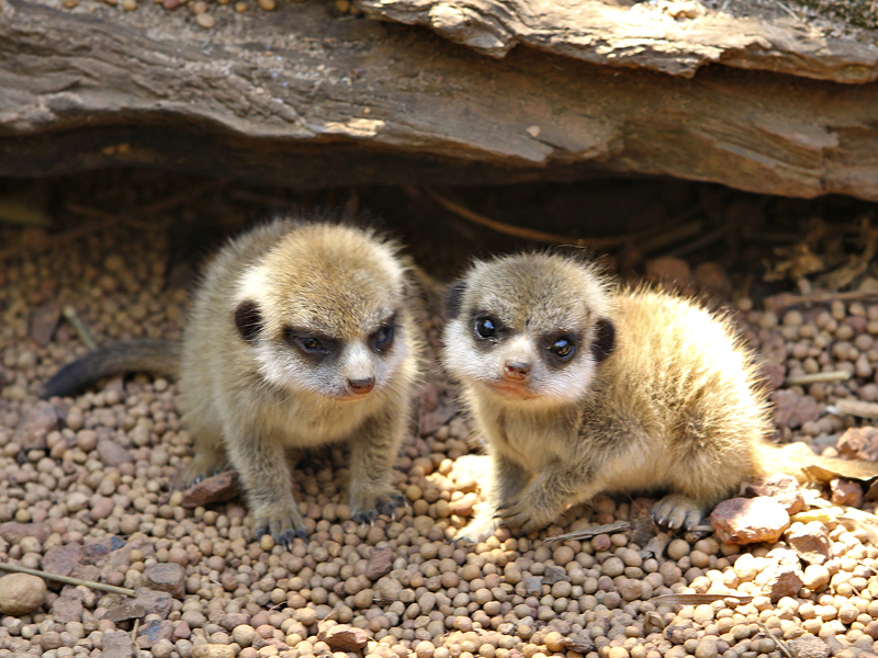 meerkat-kits-4