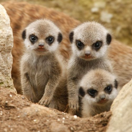 meerkatpups