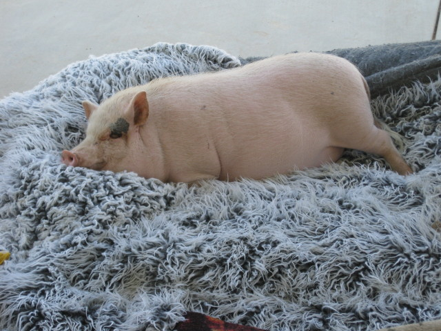 pig-on-blanket-lg