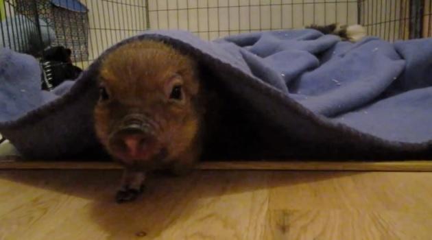 pigs in blanket