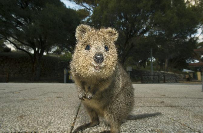 Marsupial Quokka quokka  2