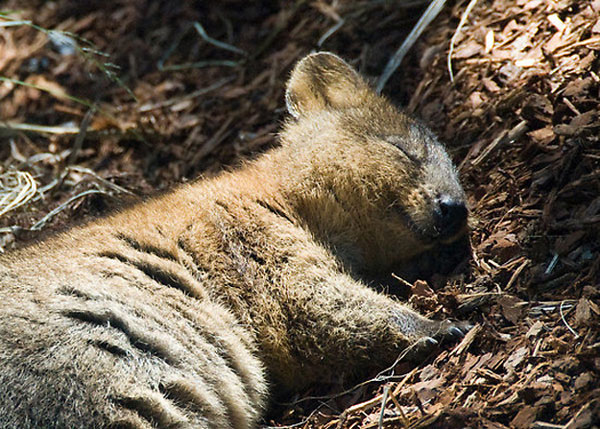 The Adorable Quokka | Cuteness Overflow