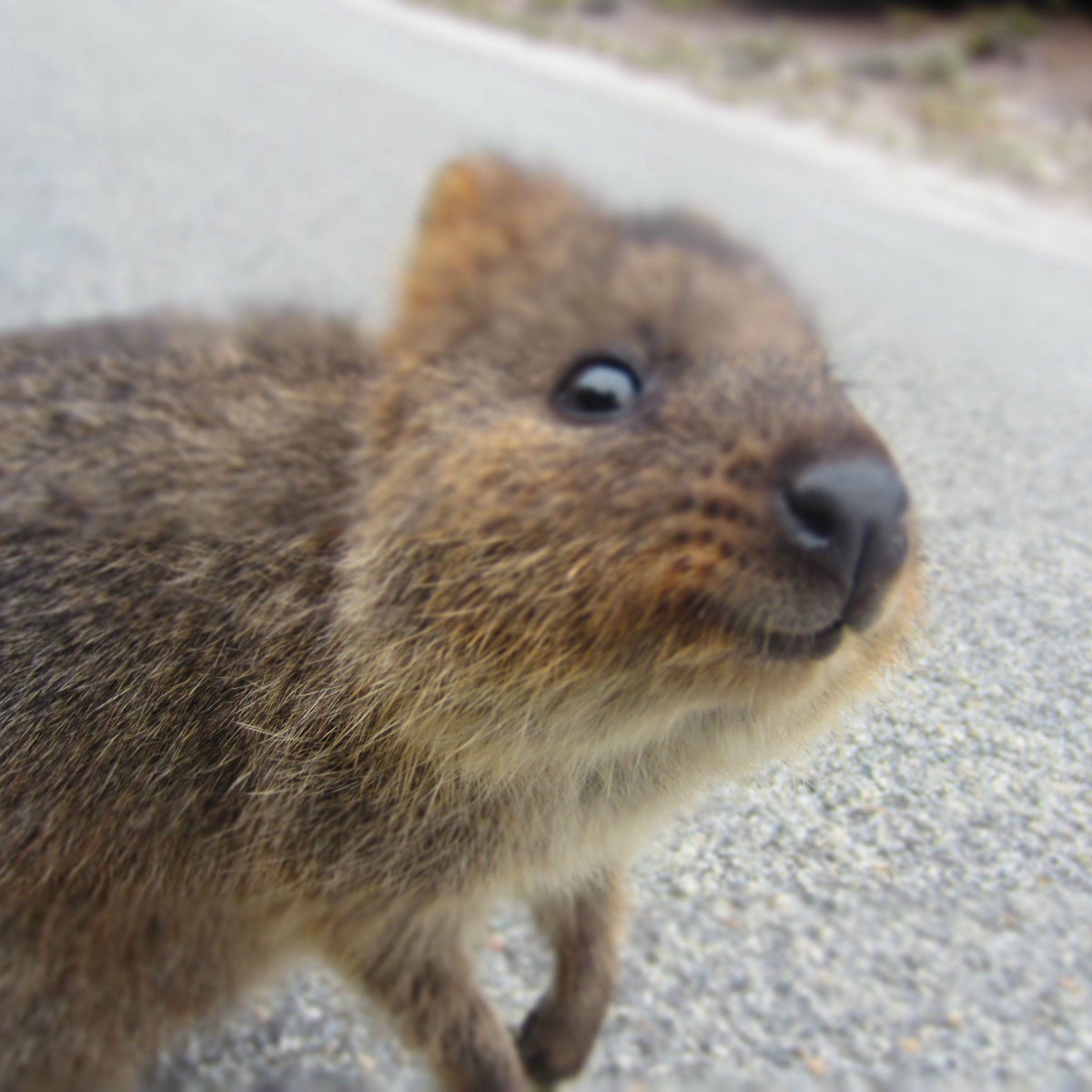 The Adorable Quokka Cuteness Overflow