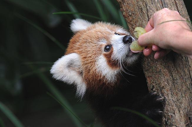 red-panda (1)
