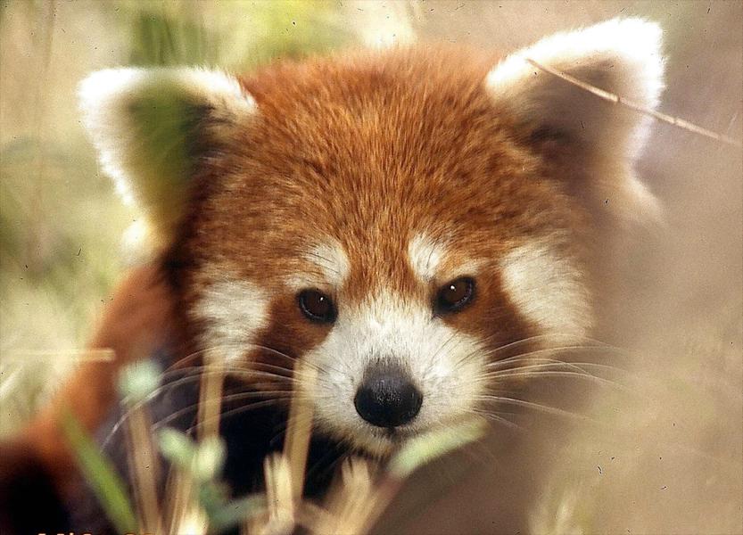 red-panda (10)