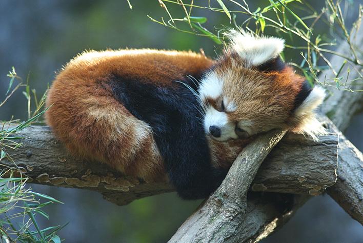 red-panda (11)