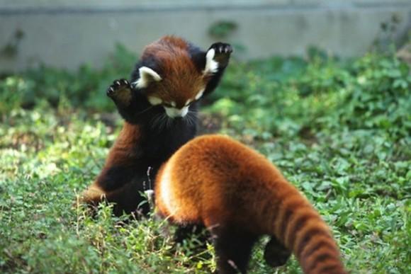 red panda just got - photo #9