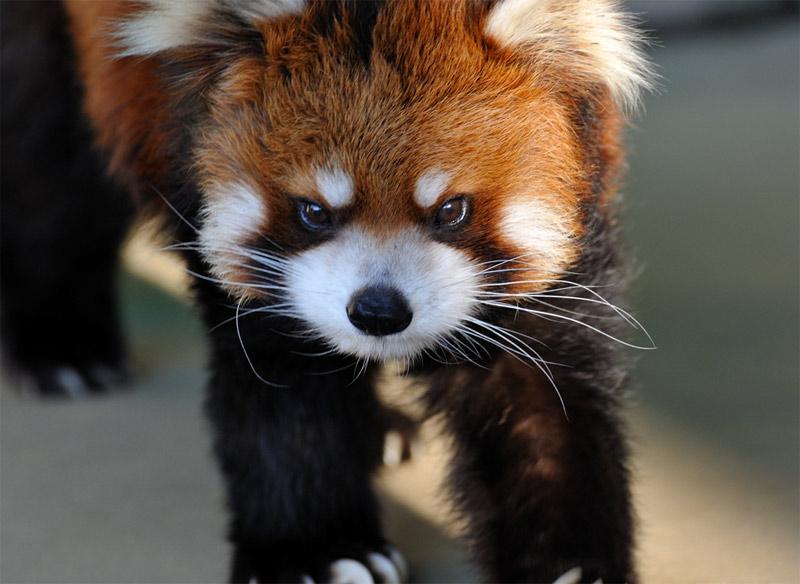 red-panda (14)